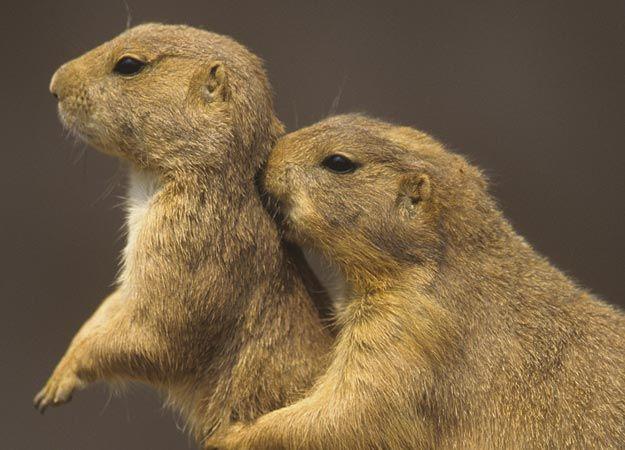 Prairie dogs essay