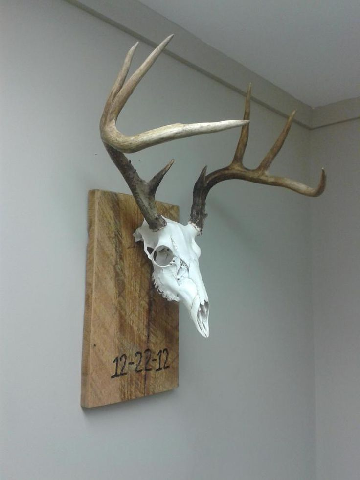 17 best images about taxidermy ideas on pinterest wall mount coyotes and a deer. Black Bedroom Furniture Sets. Home Design Ideas