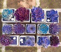 Changer la couleur des succulentes :en additionnant à l'eau d'arrosage, une cuillère à café de colorant alimentaire. Recommencer à chaque fois que les couleurs partent.