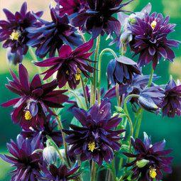 Barlow Black - a purple-black, double flowered columbine that holds its flowers upwards.Black Barlow, Aquilegia Black, Barlow Black, Columbine Clementine, Aquilegia Vulgaris, Plants, Flower Gardens, Barlow Columbine, Columbine Black