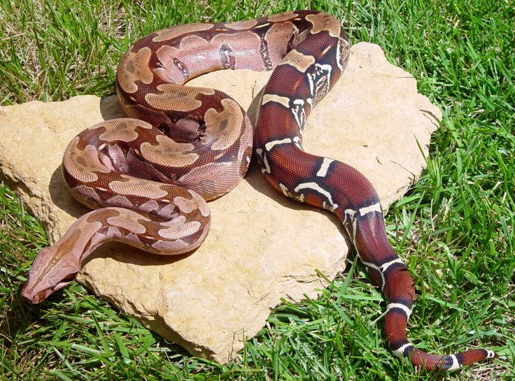 Red tailed boa constrictor :D