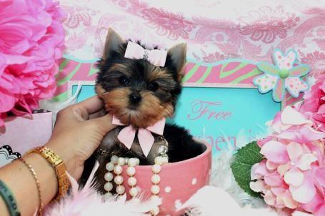 yorkiebabies.com teacup yorkie puppie  – Beautiful yorkie puppies for sale