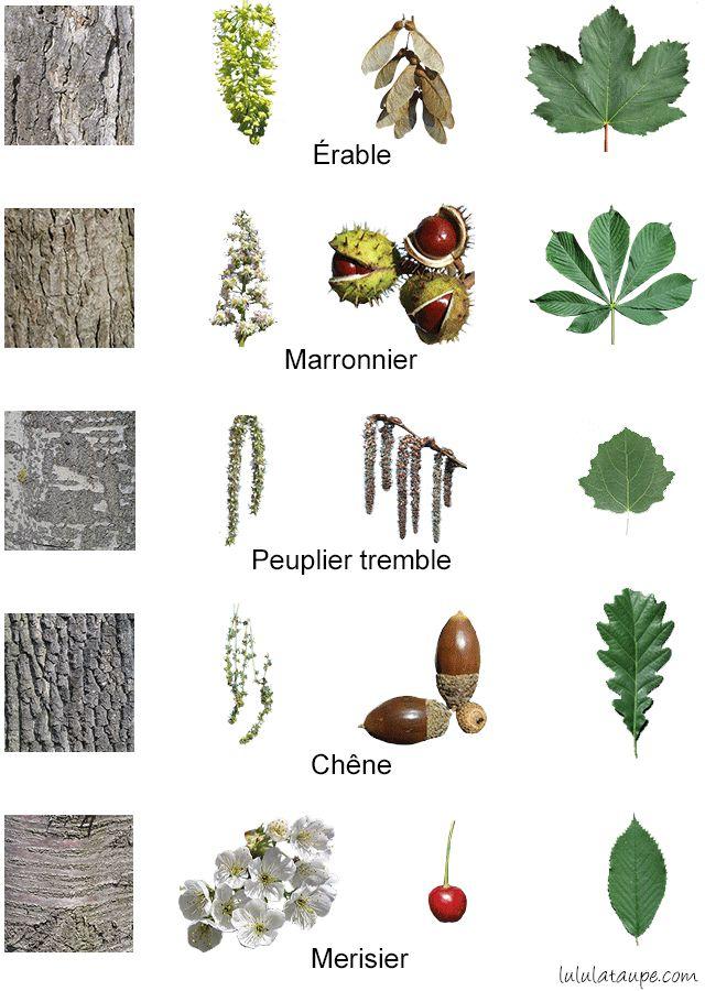 Les arbres de la forêt, fleurs, fruits, écorce et feuilles : érable, marronnier, tremble, chêne et merisier