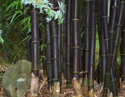 TIMOR BLACK BAMBOO (Bambusa lako) 10 seeds