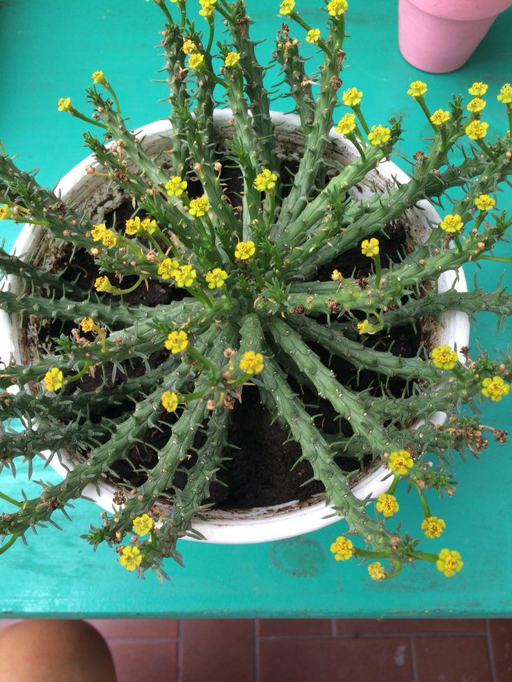 Suculenta florecida