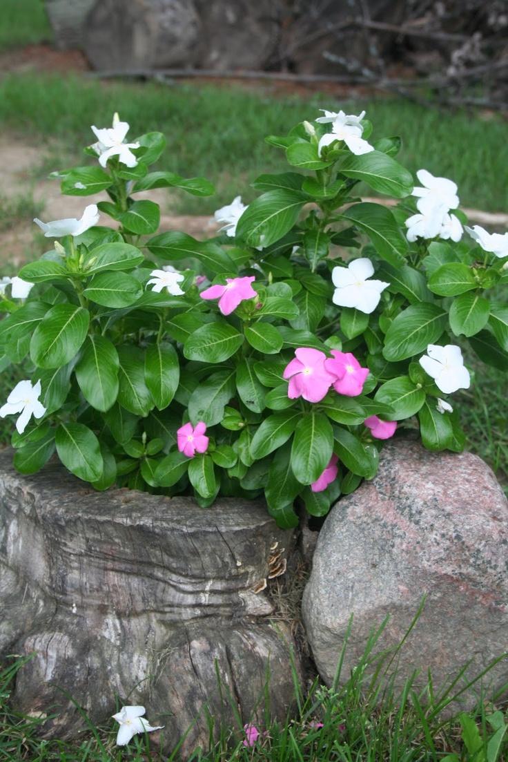 Best 63 vinca flowers images on pinterest flower beds flower vinca is a tough little plant i get volunteers every year between the garden edging izmirmasajfo