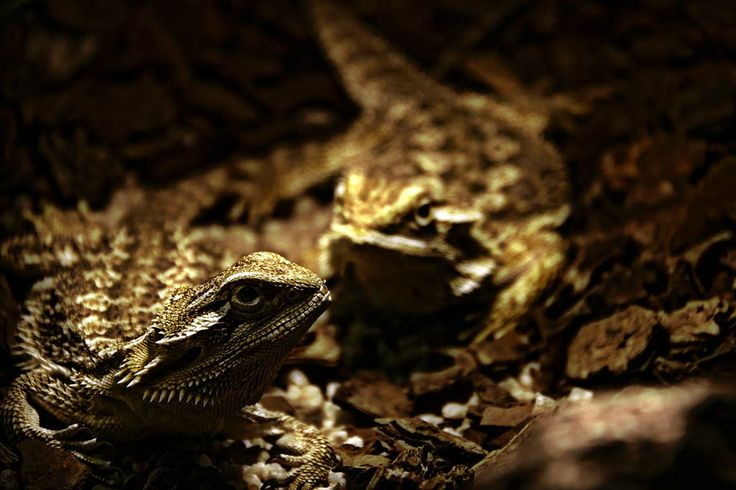 BEARDED DRAGONS - See more at http://www.markmetcalfe.co.za/