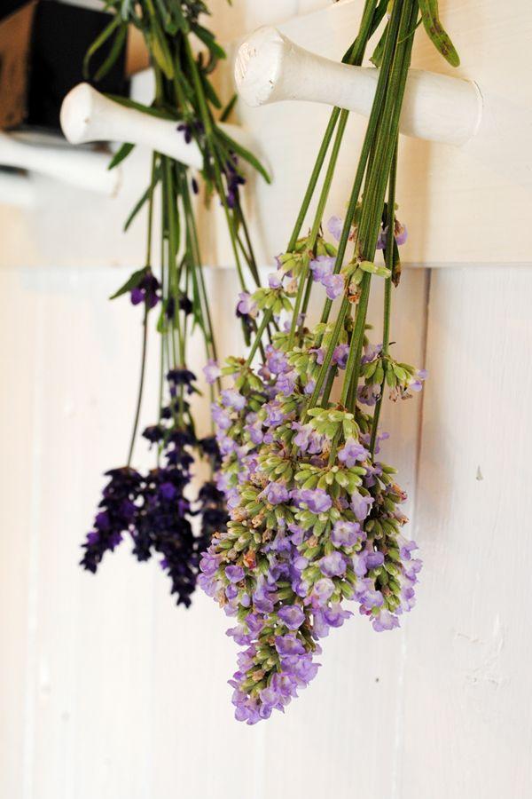 Lavendel 'Hidcote Blue' och 'Ellagance Ice'.