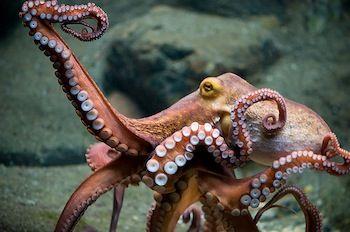 octopus - Google Search
