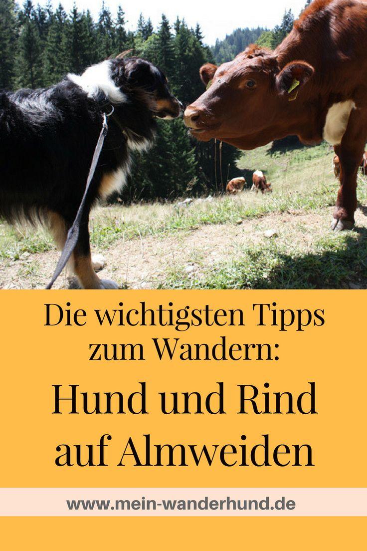 Die besten Verhaltensregeln für das Zusammentreffen von Rind und Hund beim Wandern