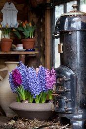 Geurende hyacinten pakket