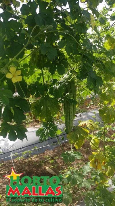 malla espaldera HORTOMALLAS en el tutoreo y guía de cundeamor se puede notar lo viguroso del foliaje y la optima floración que consigue con este tipo de soporte