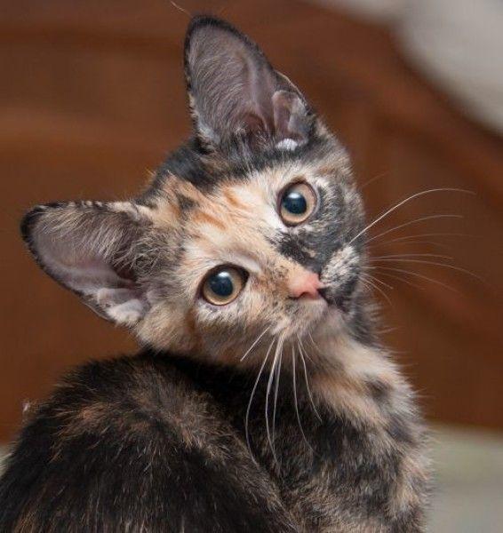 Tortoiseshell Cat For Adoption In Westminster Colorado Splash In Westminster Colorado Cat Adoption Tortoise Shell Cat Cats