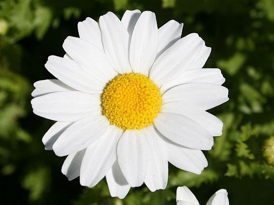 My favorite flower because the Daisy blows freely in the wind and always stands out with it's bright white petals along with the button shaped yellow.