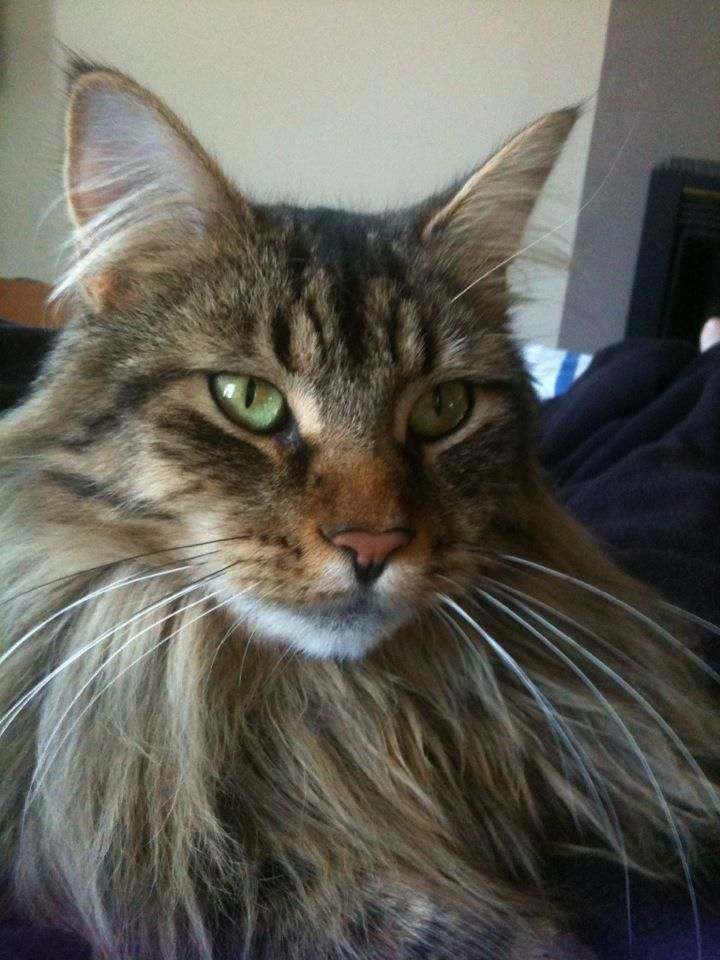 maine coon brown tabby maine coons pinterest maine