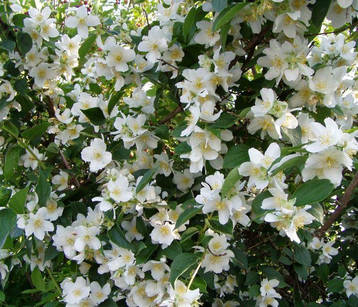 Philadelphus coronarius Garten-Jasmin Der Philadelphus coronarius ist ein sehr schöner und vor allem duftender Blütenstrauch und liebt einen Standort in sonniger bis halbschattiger Lage. Wuchs: straff aufrecht wachsender Strauch mit überhängenden Zweigen, schnellwachsend Wuchshöhe: bis 3 Meter hoch und breit Belaubung: frischgrüne, eiförmige Blätter Blüte/Frucht: weiße Einzelblüten mit gelben Staubgefäßen, zahlreich, stark duftend Blütezeit: Mai bis Juni