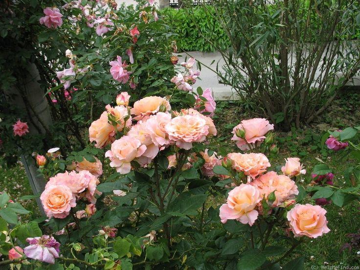 39 augusta luise 39 rose photo tantau my fave roses. Black Bedroom Furniture Sets. Home Design Ideas