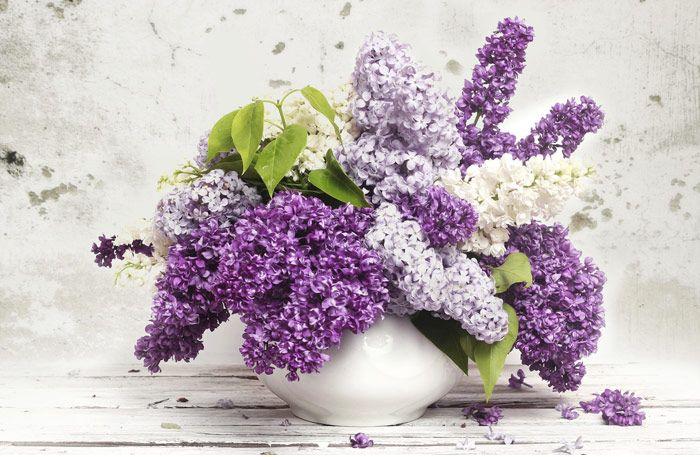 Syrener. Som vi älskar syrener! Doften och blomsterprakten med föraning om sommarlov och semester. Här är lite rolig fakta du förmodligen inte visste om syrener.