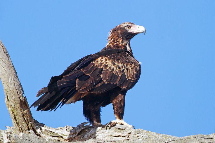 Wedge-tailed Eagle (Aquila audax), Australia (Aguia de cauda longa)