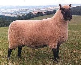 Clun Forest sheep, is a breed of domestic sheep originating from the area surrounding the Clun Forest in Shropshire.