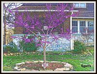 Redbud tree transplant in spring > How to transplant tree or shrub and blog yard and garden secrets (photo by sgolis)