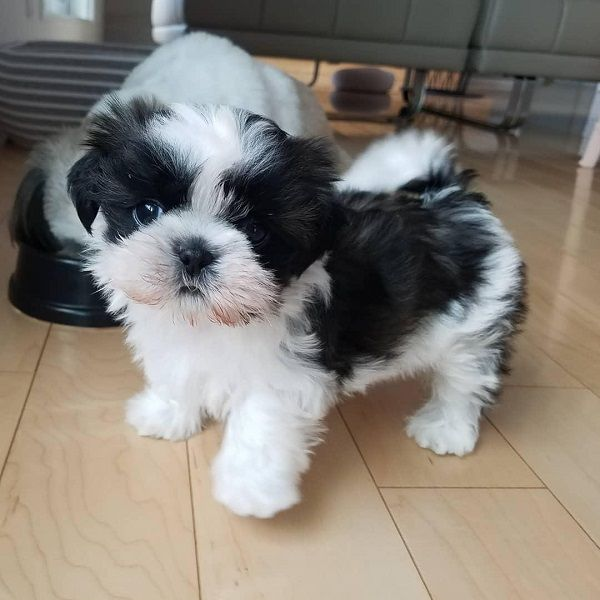 Available Puppies Shih Tzu Breeders Farm Puppies Shih Tzu Puppy Shih Tzu