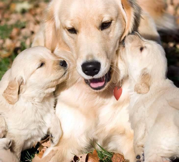 """We love you mama!""...  Click on this image for more pinable #dogs #puppies and #GoldenRetrievers"