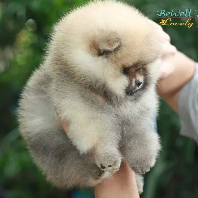 fat pomeranian have you ever seen a puppy so fluffy and huggable 1009