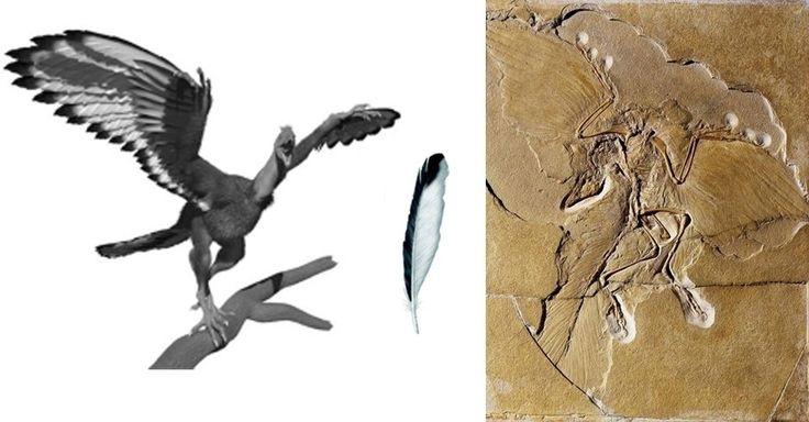 """Paleont�logos da Universidade de Manchester, no Reino Unido, descobriram que o """"Archaeopteryx"""", elo perdido entre os dinossauros e as aves, tinha uma colora��o diferente do previsto at� ent�o. A an�lise qu�mica com raios-X dos f�sseis revelou que as penas do animal que viveu h� 150 milh�es de anos tinham uma pigmenta��o mais clara e com uma borda escura apenas em um dos lados e nas pontas, e n�o eram todas pretas como os cientistas acreditavam anteriormente. """"Essa descoberta � um grande…"""