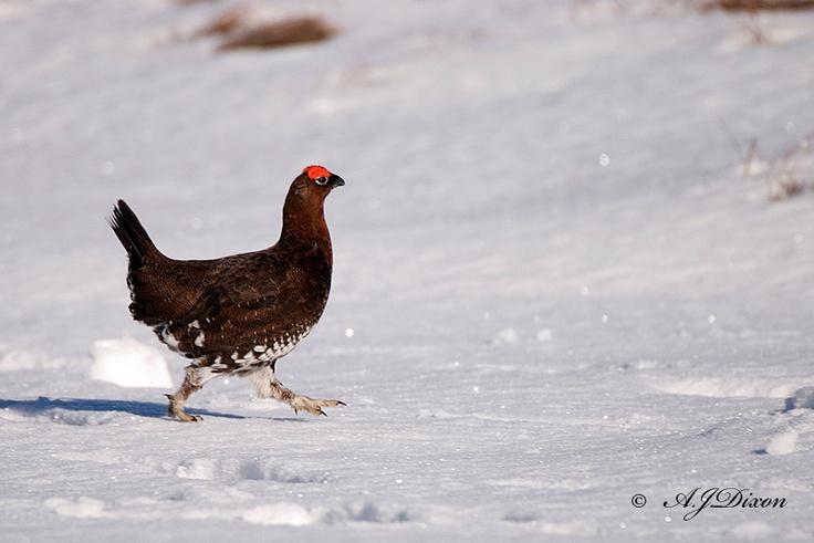 Red Grouse In SnowWinter, Favorite Seasons, British Wildlife, Chicken Mums, Farms Life, Birds, Dixon Wildlife, Feathers Friends, Adorable Animal
