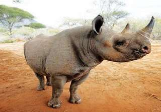 Rhinos spared from tracking device