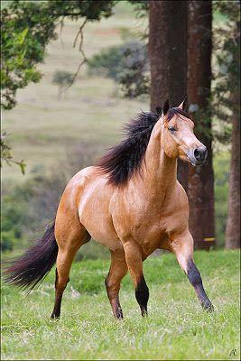 Sugar Cream, American Quarter Horse