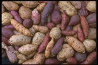 A CHART OF LOTS OF TYPES OF BOTH BUSH AND VINE TYPES OF Popular Varieties of Sweet Potatoes