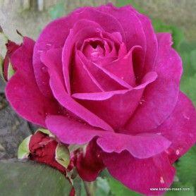 kordes rosen parole eleganza unsere lieblinge die sch nsten rosen der welt rosen. Black Bedroom Furniture Sets. Home Design Ideas