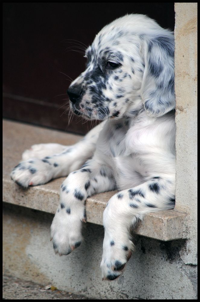 setter inglese by izoard781 on deviantART Cane nobile !