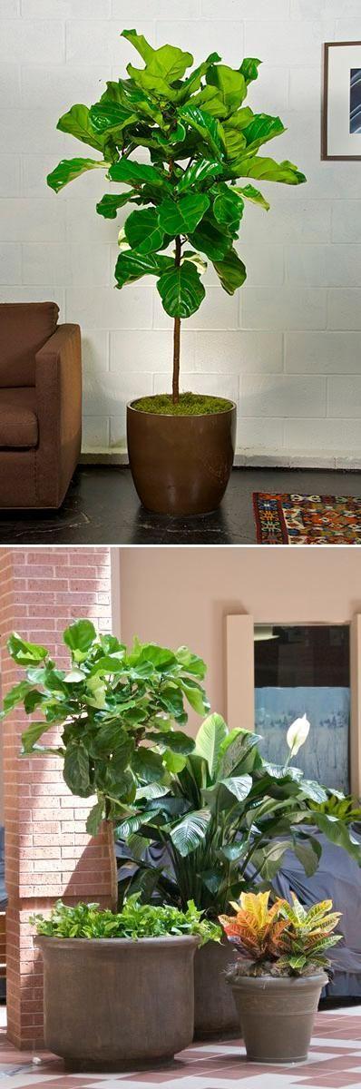 Geigenblatt Feigenbaum   – Pot Plants Outdoor