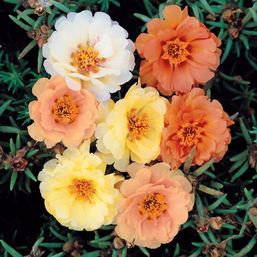 Sundial Tropical Fruit Hybrid Mix Moss Rose Seeds