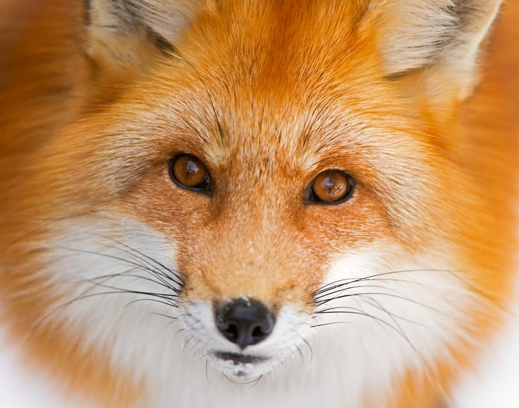 Fox stare - This image was taken a Park Omega near Montebello Quebec, Canada. Needless to say it is a close up image of a red fox. Taken with a Nikon D3s camera and a 200-400 Nikon lens.
