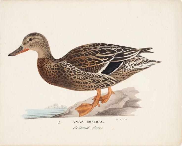 """""""Female Mallard"""" 1828-1838 - """"Sinisorsa (heinäsorsa), naaras"""" – lithography, watercolor – litografia, maalattu vesivärein Wilhelm von Wright (1810-1887) - Ateneumin taidemuseo - Wilhelm oli veljeksistä selvimmin luonnontieteilijä, ja hänen tuotantonsa painottui luonnontieteellisiin kuvitustöihin.Toisaalta hän opetteli ensimmäisenä öljyvärimaalaustekniikan."""