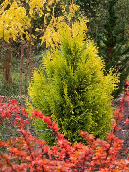 Forever Goldie Arborvitae Tree for Sale