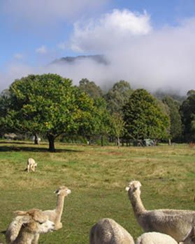 Photo: Alpacas and Chestnut trees