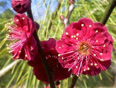 Japanese Flowering Apricot Prunus Mume   Flower Homes: Prunus mume Flowers