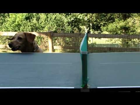 You get exhausted watching this funny dog watching table tenis