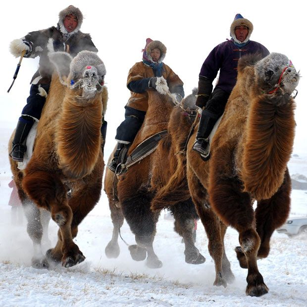 Mongolian tribesmen take part in a camel race during the winter Naadam festival in Hulun Buir, North China's Inner Mongolia region  Picture: AFP/Getty Images