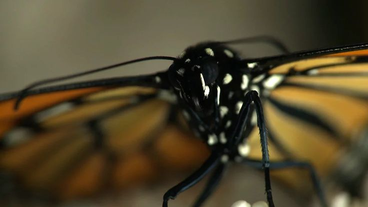 Stages of a Monarch Butterfly on Vimeo