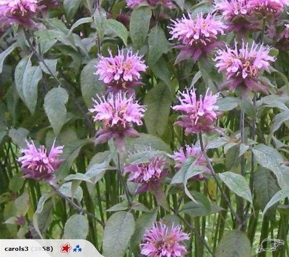 Bergamot Bee Balm - Monarda fistulosa - Perennial (no less than 40 seeds)  by Carols Heirloom Garden - Providing quality Heirloom (Heritage) NON-GMO seed since ...