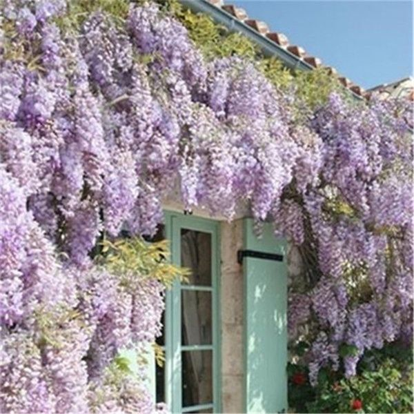 30pcs Rare Purple Wisteria Flower Seeds For Diy Home Garden Plants Wisteria Sinensis Sweet Seed Wish In 2020 Wisteria Plant Home Garden Plants Rare Flowers