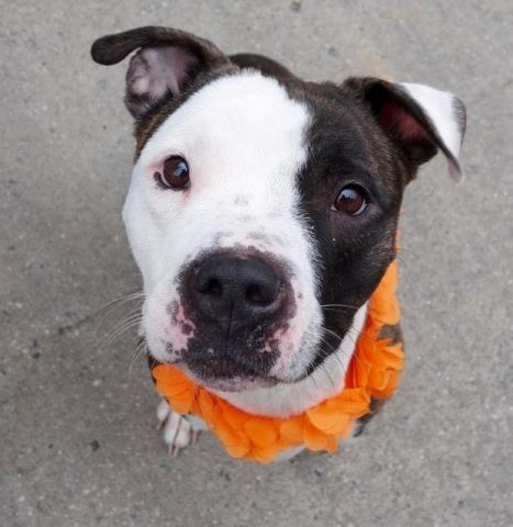 "DUTCHESS - A1097869 - - Manhattan  Please Share:TO BE DESTROYED  12/05/16 ****PUBLIC ADOPTABLE**** A volunteer writes: Duchess ""dances"" in her kennel.. ""Take me out, take me out."" Duchess is leashed at once and rushes to the street. Wow! Just in time….She pulls on the leash . A harness would be more pleasant. I wonder if Duchess is the same dog I was told about or is it like with kids, good in school and bad at home or vice versa…?Duchess"