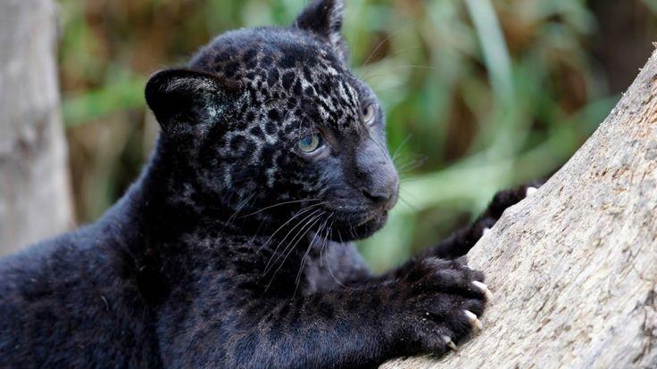 Les plus belles photographies de panthères noires, le plus timide et solitaire des félins   Buzzly