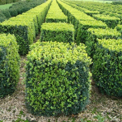 Best 25 Buxus sempervirens ideas on Pinterest Buxus Boxwood